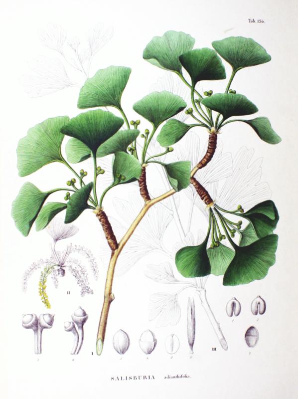 Ginkgo Biloba